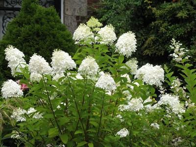 hortensja bukietowa phantom hydrangea paniculata phantom. Black Bedroom Furniture Sets. Home Design Ideas