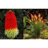 Trytoma groniasta- Kniphofia Fire Dance