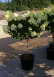 Hortensja bukietowa Lime Light na pniu -Hydrangea paniculata Lime Light