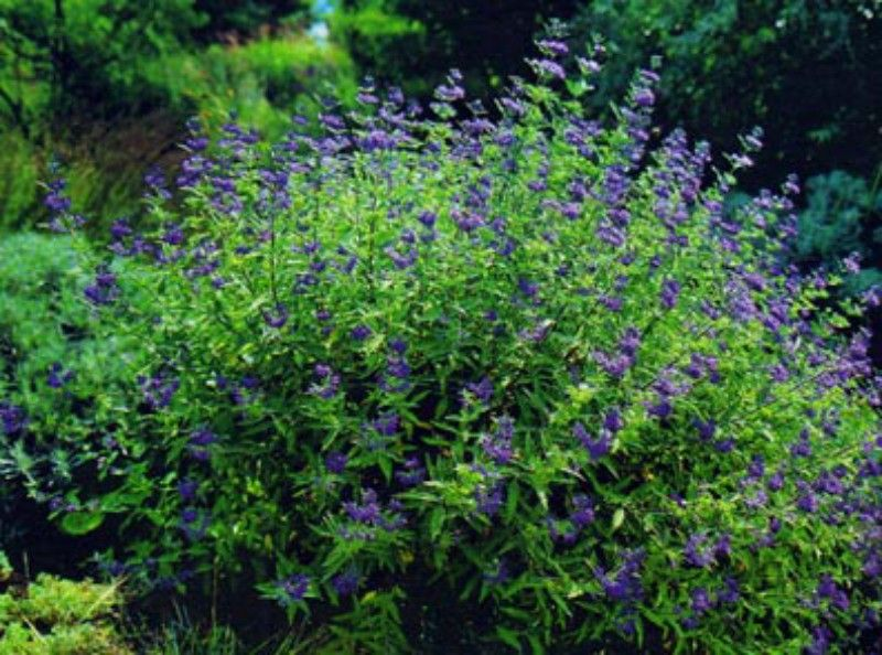 Barbula klandońska- Caryopteris clandonensis Heavenly Blue