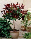 Głogownik Red Robin na pniu 130 cm- Photinia fraseri Little Red Robin