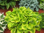 Funkia Summer Breeze-Hosta Summer Breeze
