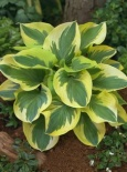 Funkia Knockout-Hosta Knockout