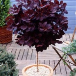 Perukowiec czerwony Royal Purple na pniu - Cotinus coggygria Royal Purple 100 cm