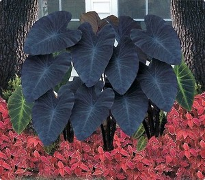Czarne uszy słonia- Colocasia Black Magic
