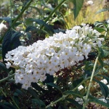 Budleja Dawida White Bouquet-Buddleja davidii White Bouquet