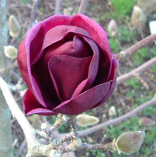 magnolia soulangeana genie. Black Bedroom Furniture Sets. Home Design Ideas