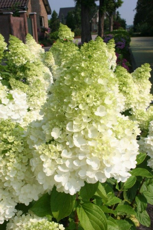 Hortensja wiechowata Magical Moonlight ® - Hydrangea Magical Moonlight ®