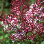 Lilak miniaturowy Red Pixe- Syringa Red Pixie