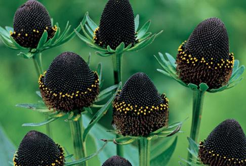 Rudbekia zachodnia Black Beauty -  Rudbeckia occidentalis Black Beauty