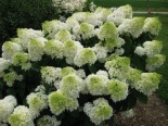 Hortensja bukietowa Little Lime Jane ® - Hydrangea paniculata Little Lime Jane® na pniu