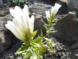 Goryczka White Magic® - Gentiana White Magic®