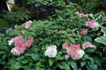 Hortensja bukietowa RUBY ANGEL'S BLUSH- Hydrangea paniculata RUBY ANGEL'S BLUSH