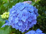Hortensja ogrodowa Early Blue -Hydrangea  macrophylla Early Blue