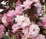 Wisnia japo�ska Royal Burgundy-Prunus serrulata Royal Burgundy