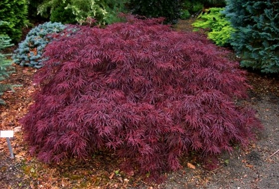 klon palmowy dissectum garnet acer palmatum dissectum garnet. Black Bedroom Furniture Sets. Home Design Ideas