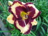 Liliowiec Open My Eyes - Hemerocallis Open My Eyes
