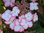 Hortensja Love You Kiss- Hydrangea macrophylla  Love You Kiss