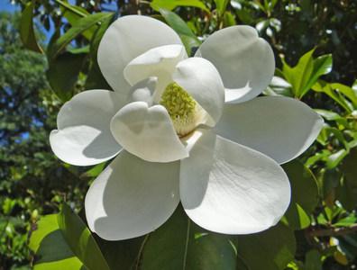 magnolia charles coates. Black Bedroom Furniture Sets. Home Design Ideas