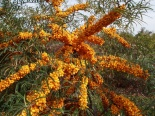 Rokitnik Habego Orange Energy-Hippophae rhamnoides Habego Orange Energy