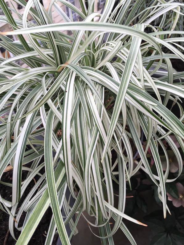 ogrodkrotonpl liriope silver dragon liriope spicata