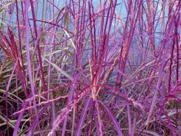 Miskant chiński Purple Fall - Miscanthus sinensis Purple Fall