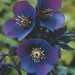 Ciemiernik Metallic Blue Lady- Helleborus × hybridus LS Blue Metallic Lady