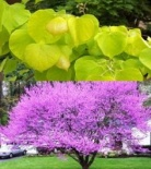 Judaszowiec kanadyjski Hearts of Gold - Cercis canadiensis Hearts of Gold