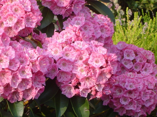 Kalmia szerokolistna Bridesmaid-Kalmia latifolia Bridesmaid