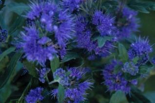 Caryopteris clandonensis grand bleu