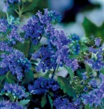 Barbula klandońska First Choice - Caryopteris clandonensis First Choice