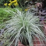 Turzyca oszimska Everest ® - Carex oshimensis EVEREST®