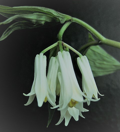 Parnik -Disporum Megalanthum