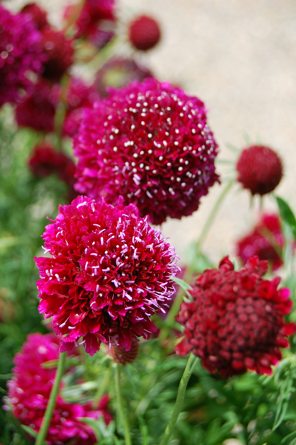 Driakiew szlachetna Crimson Cushion- Scabiosa Crimson Cushion