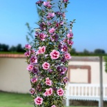 Ketmia syryjska Purple Pillar®-Hibiscus syriacus Purple Pillar®