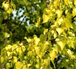 Brzoza omszona Yellow Wings - Betula pubescens Yellow Wings