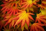 Klon  shirasawy Autumn Moon-Acer shirasawanum Autumn Moon