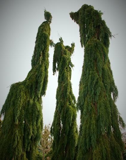 Mamutowiec olbrzymi Pendulum- Sequoiadendron giganteum Pendulum
