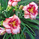 Liliowiec Lies and Lipstick- Hemerocallis Lies and Lipstick