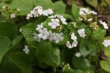 Brunera wielkolistna Betty Bowring-Brunnera Betty Bowring