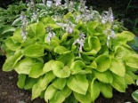 Funkia Honeybells - Hosta Honeybells