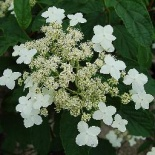 Hortensja miękkowłosa Willy Blanc - Hydrangea heteromalla Willy Blanc