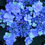 Hortensja ogrodowa Forever Blue You and Me - Hydrangea macrophylla Forever