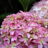 Hortensja ogrodowa Inspire - Hydrangea You and Me Inspire