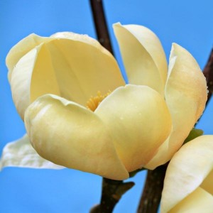 Magnolia soul. Honey Tulip ®