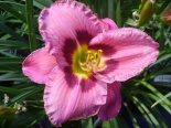 Liliowiec Always Afternoon - Hemerocallis Always Afternoon