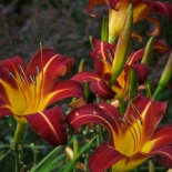 Liliowiec Autumn Red - Hemerocallis Autumn Red