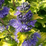 Barbula Good as Gold - Caryopteris GOOD AS GOLD Novacargol