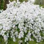 Exochorda serratifolia Snow White