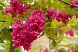Robinia akacjowa Purple Robe- Robinia Purple Robe